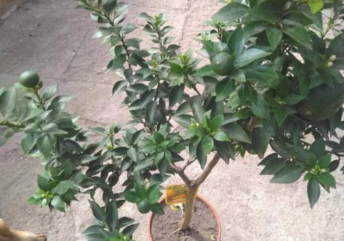 Домашний цветок мандарин. Биологическое описание мандаринового дерева