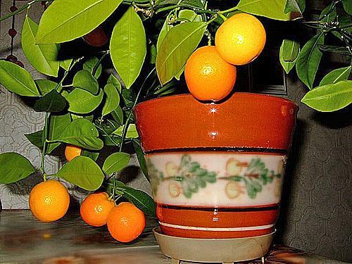 Домашнее растение мандарин. Домашний мандарин — уход и подкормка