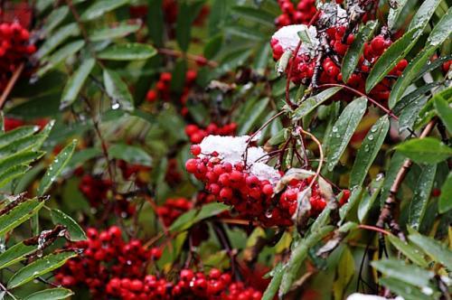 Что приготовить из ягод рябины. Что можно приготовить из рябины?