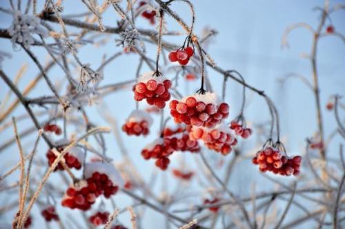 Калина народные рецепты. Рецепты здоровья: лечебные свойства ягод калины и их применение