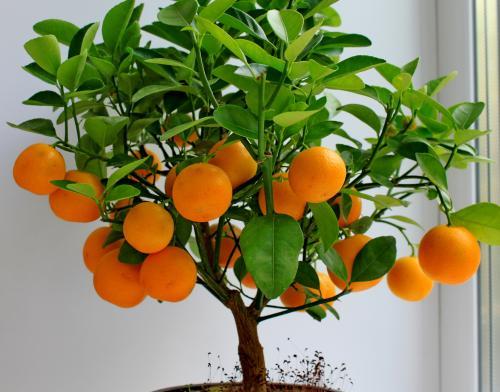Мандарин домашнее растение. Популярные сорта и гибриды