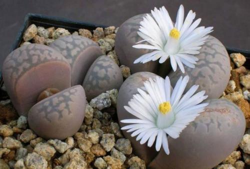 Живые камни. Литопсы — уход и содержание живых камней