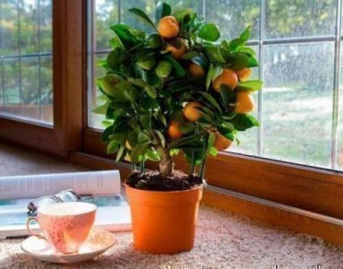 Цитрус комнатный. Выращивание и уход за домашним цитрусом